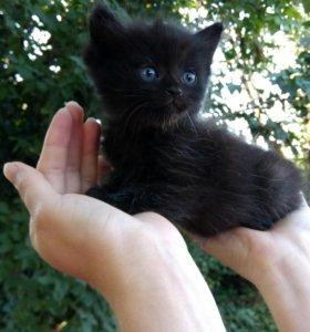 Отдам пушистых котиков от персидской кошки