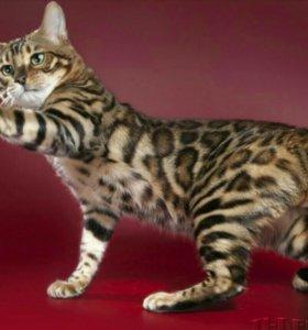 Бенгальские котята для Вас