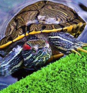 Живой корм для красноухих черепах 🐢