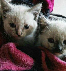 Сиамские коти