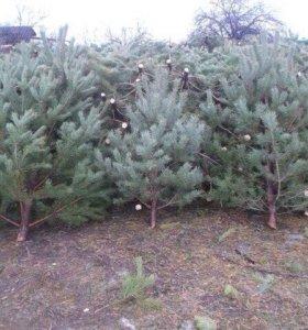 Новогодние елки (сосны)