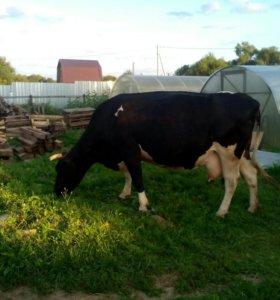Корова стельная