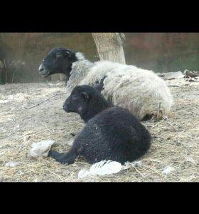 Овцематка