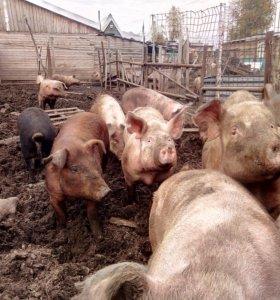 свиноматки и поросята