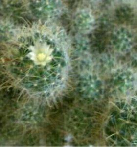 Цветущий кактус (маммиллярия)