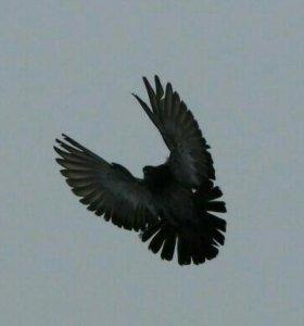Николаевские высоколетные голуби