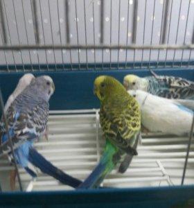 Волнистые  попугайчики (взрослые)
