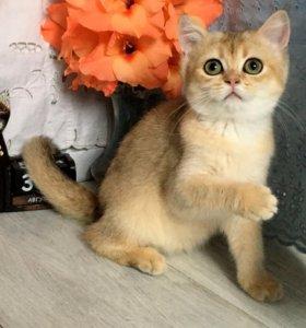 Британские котята, девочка