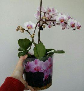 Орхидея 3 в 1