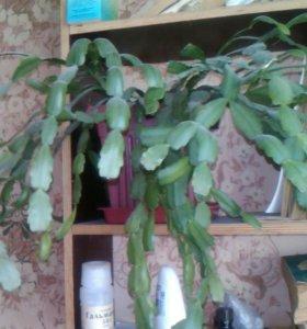 Росток декабриста малиновый