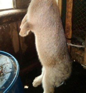 Продаю кроликов на разведение