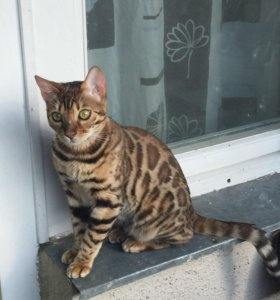 Бенгал очень красивый котик