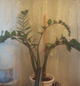 домашний цветок Замиокулькас
