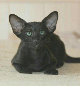 Ориентальный котенок девочка Эбони