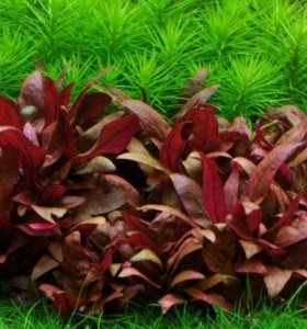 Живые растения для аквариума