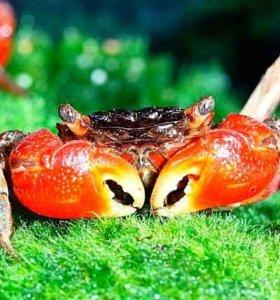 Краб мангровый красный (3-4см)
