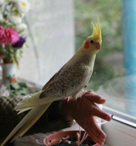 Попугай корелла, птенцы