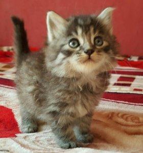 Котенок мальчик 1 месяц.к гигиене приучен
