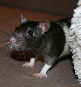 крысы и крысята