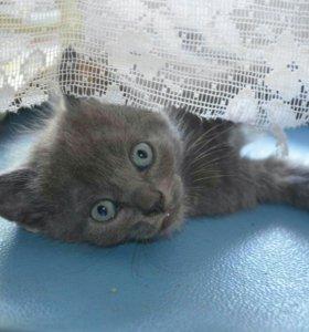 Котята от русской голубой