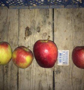 Яблоки сорт моди