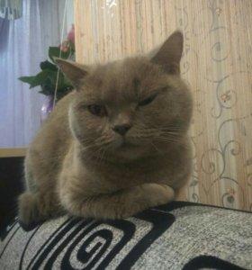 Вязка. Кошка (Британская прямоухая)