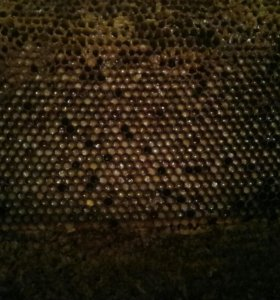 Перга -хлеб пчелиный