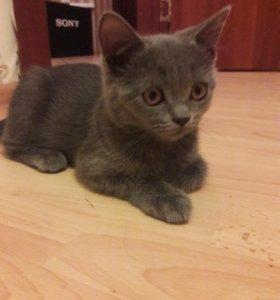 Кошечка прямоухая
