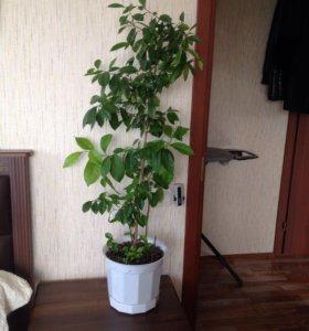 Дерево каламондина