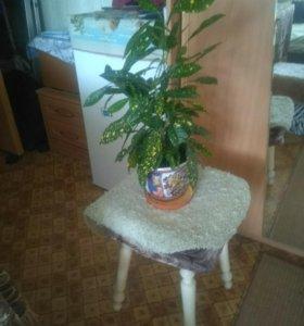 Цветок Кратон -Кодиеум