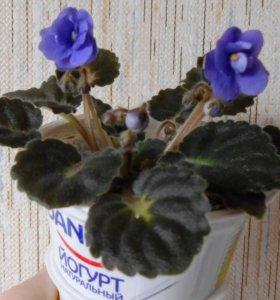 Фиалки (сенполии) - растения, а не листики