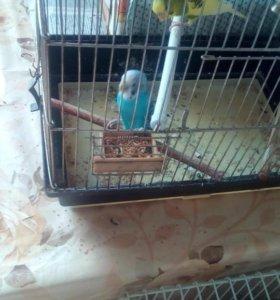 Продам пару попугаев