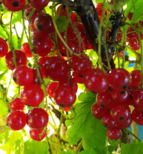 Саженцы декоративных и плодово-ягодных растений.