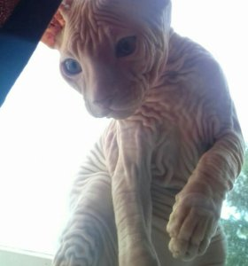 Котик донского сфинкса