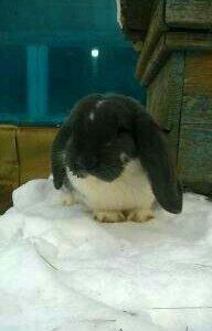 Кролики породы Ризен,Французкий баран.