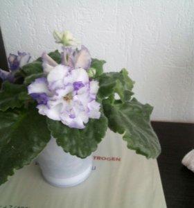 Цветы комнатные Фиалки
