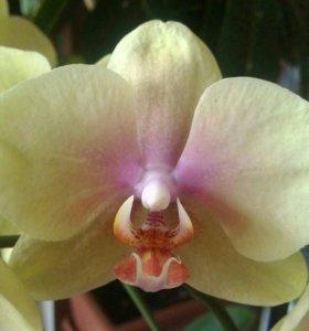 Орхидея Malmo.