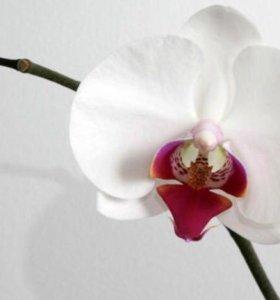 Орхидея белая с розовой серединой отцветшая