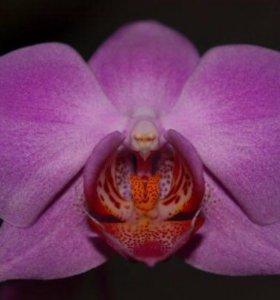 Орхидея фуксия отцветшая
