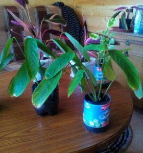 Комнатный цветок- калатея