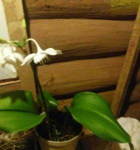 Комнатные цветы эухарис, денежное дерево толсянка