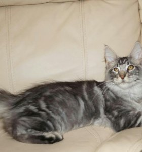 Котята мейн кун серебро
