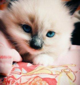 Котята в добрые руки. Сибирские