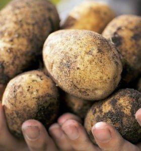 продадим картофель