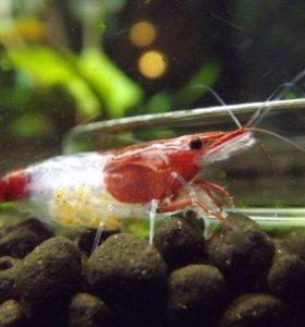 Креветка Ред Рили (Neocaridina Red Rili)
