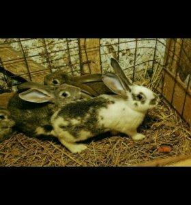 Кролики крупной пароды