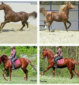 Лошади, межпородная помесь
