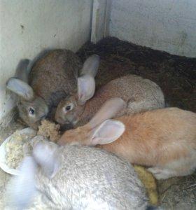 Продам взрослых кроликов