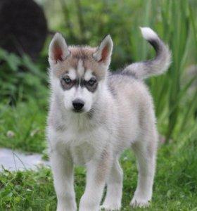 Волчонок Хаски