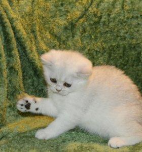 Котята британской серебристой шиншилы